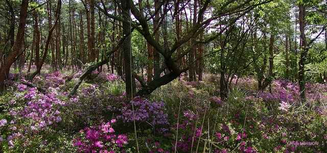 アカマツ林とミヤマキリシマ