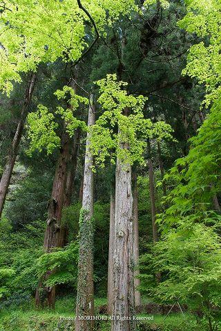 高千穂峡の新緑 2010年撮影 06