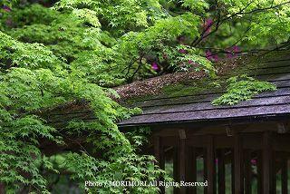高千穂峡の新緑 2010年撮影 07