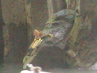 高千穂峡にアメノウズメ 拡大写真はなし